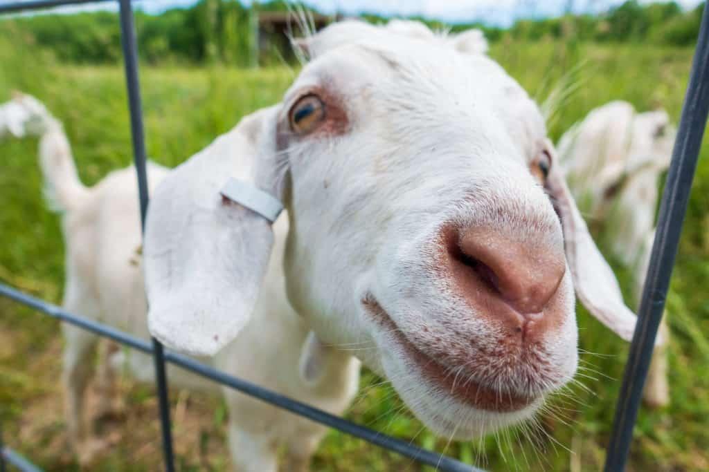 black star farms goats