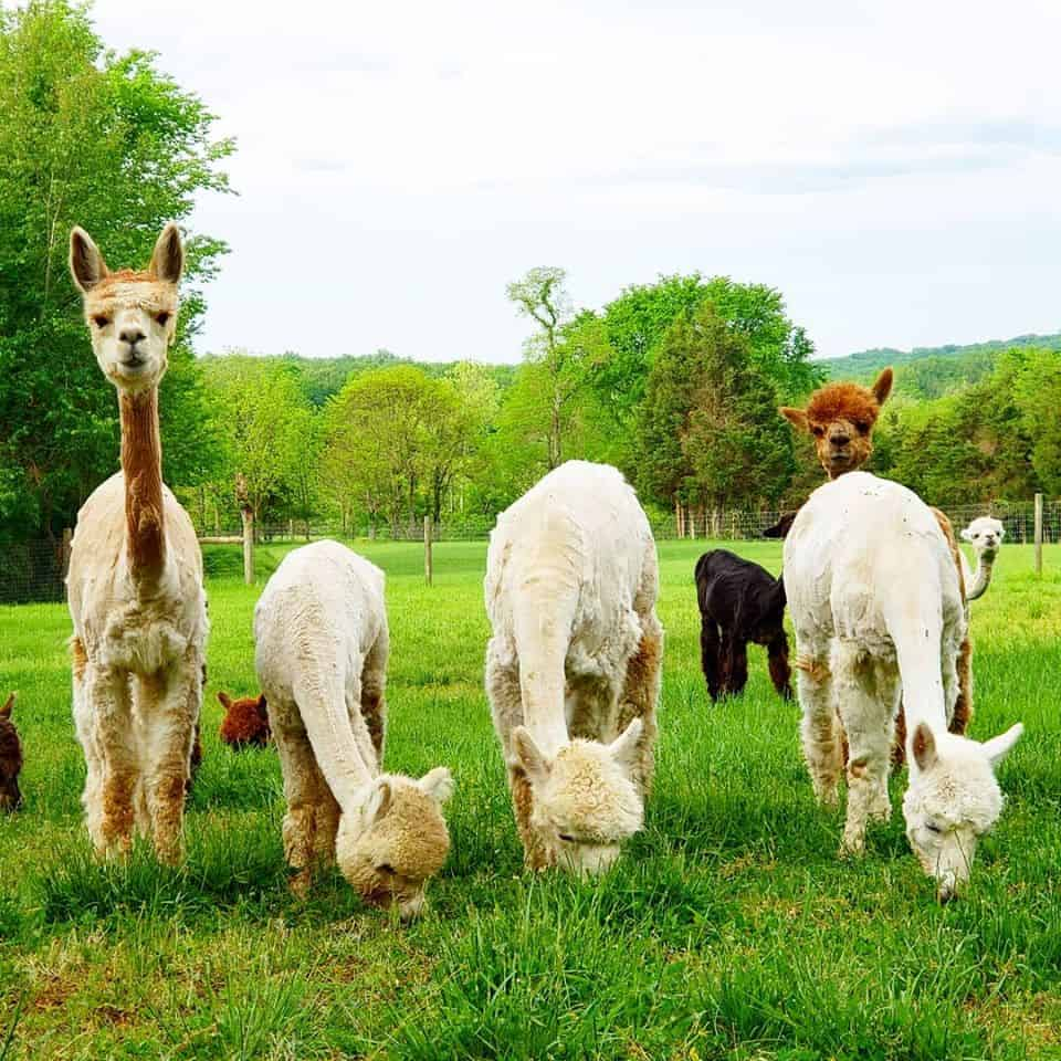 Shawnee National Forest Alpacas