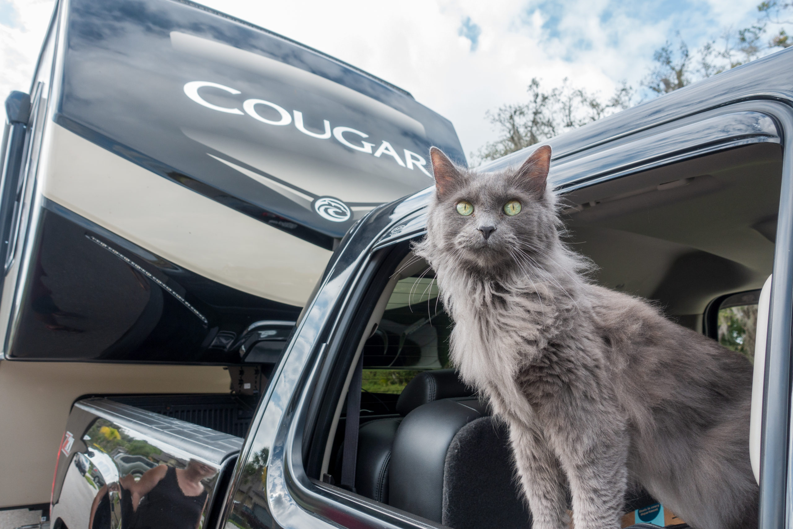 Vodka the cat, hanging out of the truck window, ready for adventure